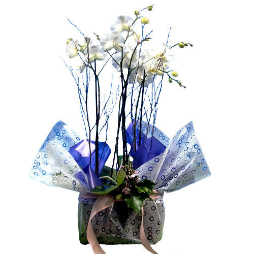 Enchanting Selection of 3 Orchids Phalenopsis Plant