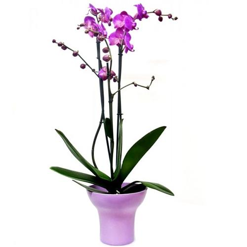 Enchanting Orchid Phalenopsis Malva in a Ceramic Pot