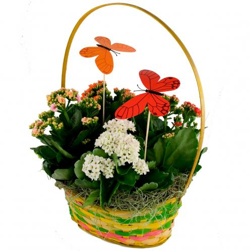 Exquisite Moms Day Special Flower Basket of Kalanchoes